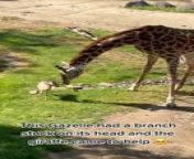 This person went to visit the zoo. They witnessed a little gazelle with a branch stuck on its head. The giraffe nearby noticed the animal's discomfort and removed the branch.<br/><br/>*The underlying music rights are not available for license. For use of the video with the track(s) contained therein, please contact the music publisher(s) or relevant rightsholder(s).
